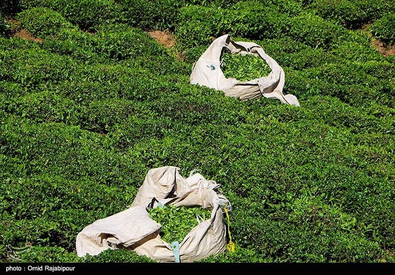 برداشت 124 هزار تن برگ سبز چای در کشور؛ تولید چای امسال 10 درصد افزایش یافت