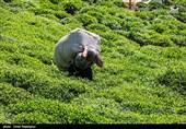 پایان فصل برداشت برگ سبز چای در سالجاری/ 28 هزار تن چای ایرانی تولید شد