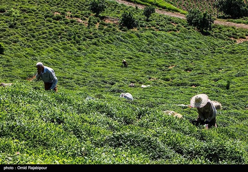 گیلان| تسهیلات ارزانقیمت به چایکاران و صاحبان کارخانجات چایسازی پرداخت میشود