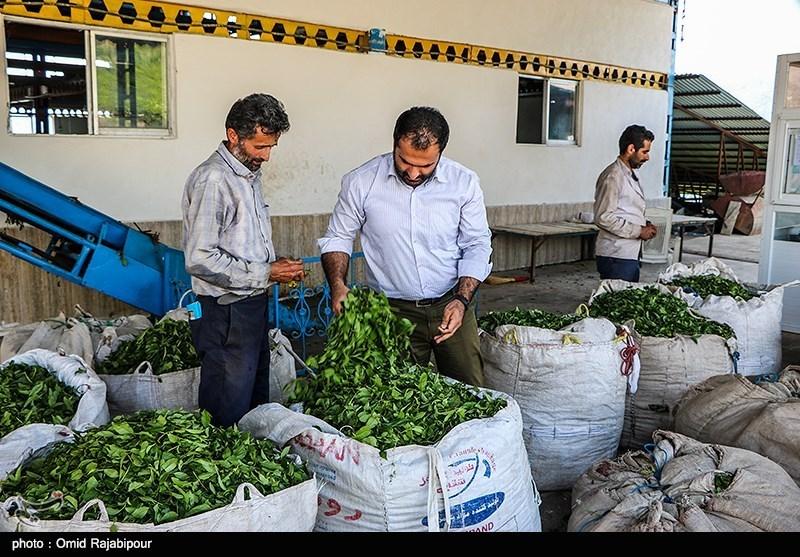 125 هزار تن برگ سبز چای امسال از چایکاران گیلان و مازندران خریداری شد