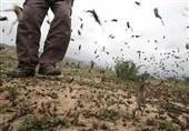 آخرین وضعیت مبارزه با ملخهای صحرایی در فارس؛ موج جدید و میلیونی ملخها در راه