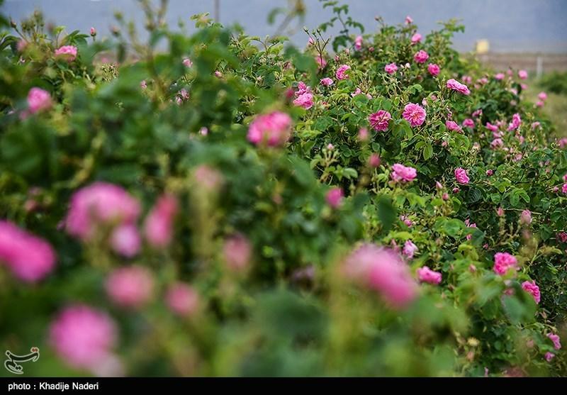 جشنواره گلابگیری - کاشان