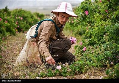 مهرجان تقطير ماء الورد في كاشان