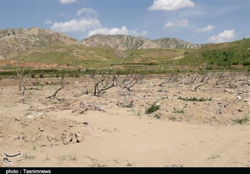 لرستان| بزرگترین انجیرستان ایران در آستانه نابودی؛ 5000 نفر بیکار میشوند
