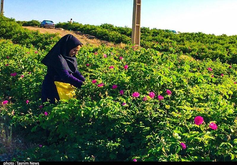 برداشت گل محمدی در استان ایلام آغاز شد