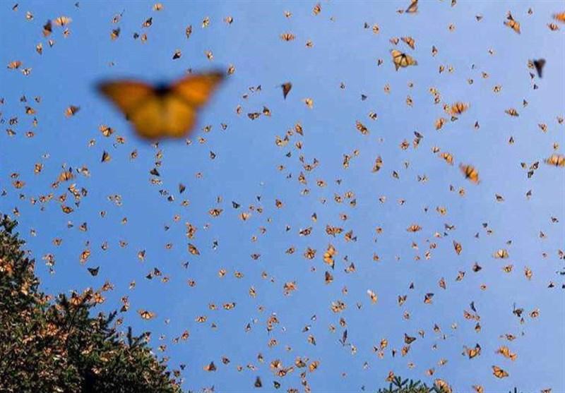 آیا پروانههای سطح شهر برای سلامتی انسان تهدید به شمار میروند؟