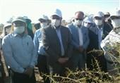 اعتبارات مبارزه با آفت ملخ صحرایی در استانها افزایش یابد