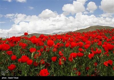 مروج شقائق النعمان فی شیروان شرق ایران