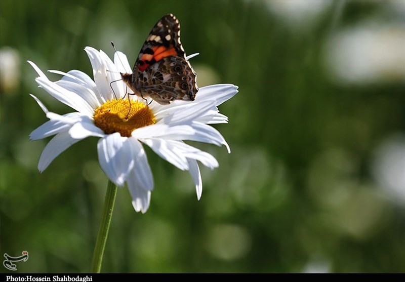پروانهها؛ مهمانان زیبا و رنگارنگ این روزهای قم + تصاویر