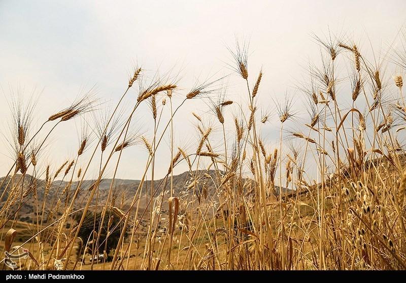 «خوشهچین» کشاورزان سیلزده کوهدشت در کمین آتش؛ خروج کمباین ممنوع شد