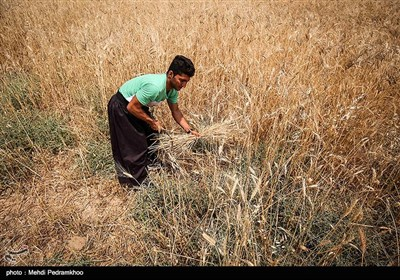 برداشت گندم به روش سنتی در ایذه - خوزستان