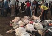 2 کانون «سیاه زخم» در کهگیلویه و بویراحمد شناسایی شد