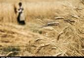 پرداخت مطالبات کشاورزان به زودی آغاز میشود