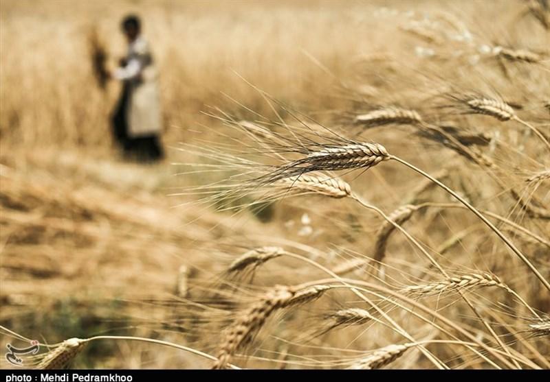 56 مرکز خرید تضمینی گندم در اردبیل راهاندازی شد