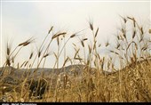 بیش از 6.5 میلیون تن غلات در استان کرمان تولید میشود