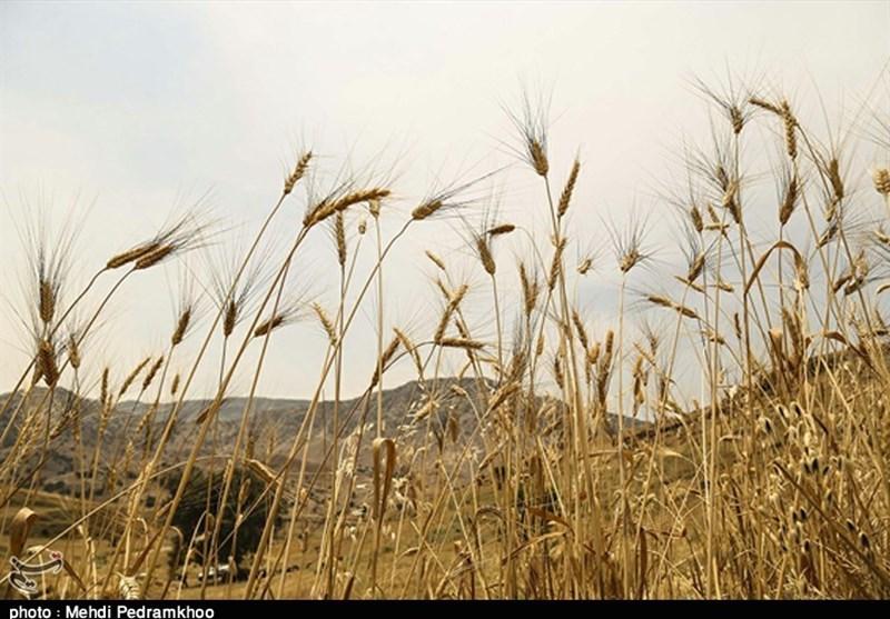 قیمت خرید گندم از کشاورزان اردبیلی 1700 تومان تعیین شد