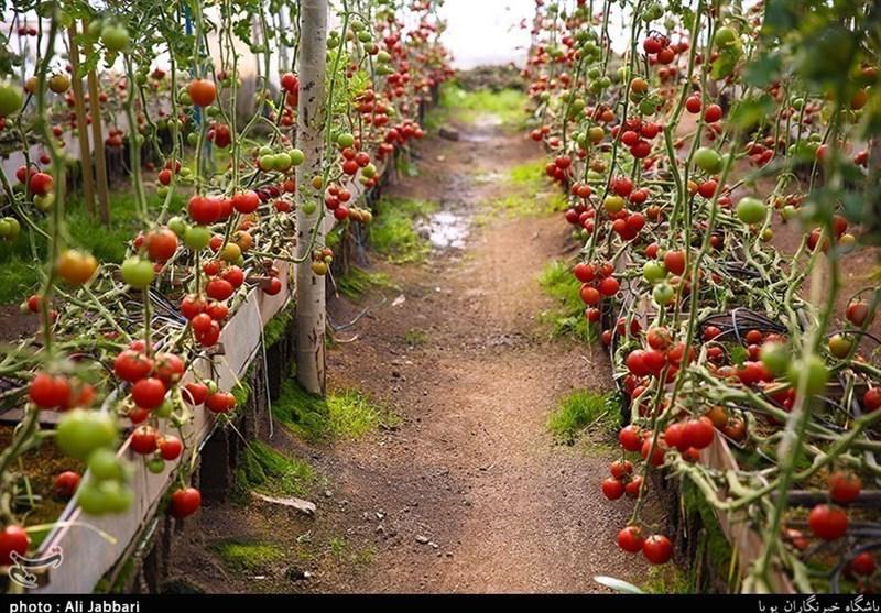 کمیته امداد بیش از 1000 گلخانه کشاورزی در جنوب کرمان راهاندازی کرد