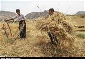 خرید گندم در سیستان و بلوچستان از مرز 15000 تن گذشت