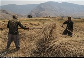 دستور دادستان قزوین برای جلوگیری از خرید بیش از حد گندم توسط اتباع بیگانه