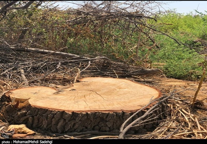 قلعوقمع درختان روستای جبرآباد بندر هندیجان برای مصرف قلیان!+تصاویر