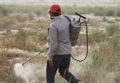 975 هکتار از اراضی کشاورزی استان بوشهر علیه ملخهای صحرایی سمپاشی شد