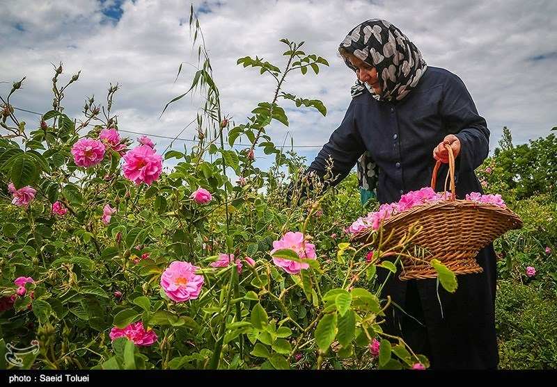 600 تن گل محمدی در استان سمنان برداشت میشود