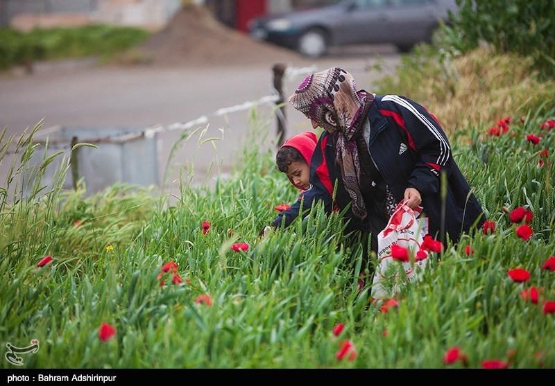 دشت شقایق- اردبیل