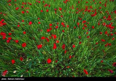 مروج شقائق النعمان فی اردبیل غرب ایران