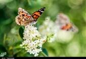 علت زیاد شدن پروانه در آذربایجان غربی چیست؟