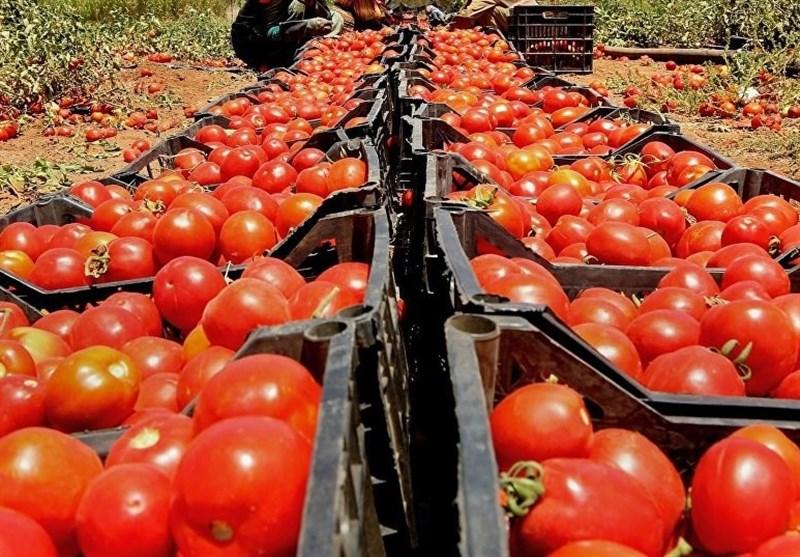 ادامه خرید حمایتی گوجه از کشاورزان برای حفظ قیمت