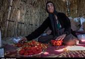 برداشت توت فرنگی در باغات مازندران + فیلم