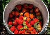 رنج دسترنج؛ برداشت توتفرنگی در کردستان؛ سود تولید طلای سرخی که به جیب دلالان میرود+تصاویر