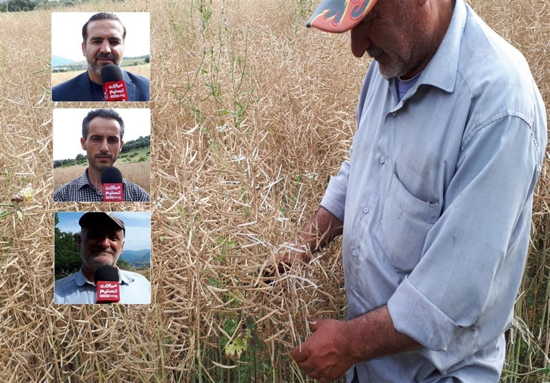 پای درد دل کشاورزان  روایت کلزاکاران گیلانی از سستی دولت در خرید کلزا + فیلم