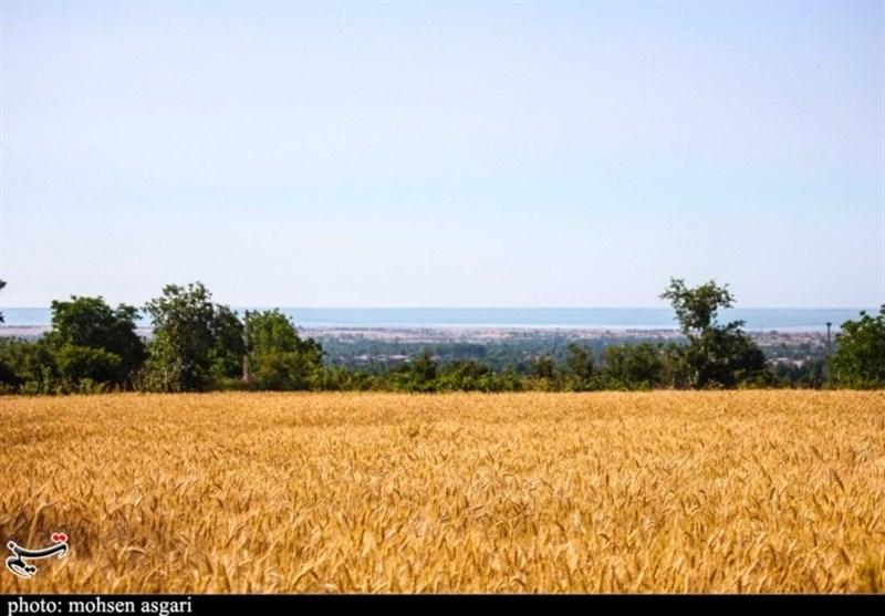 142 هزار تن گندم خرید تضمینی شد