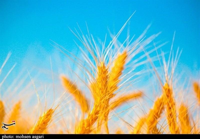 «کشاورزی»، ناجی اقتصاد|کشاورزی که برداشت گندم را 3 برابر کرد