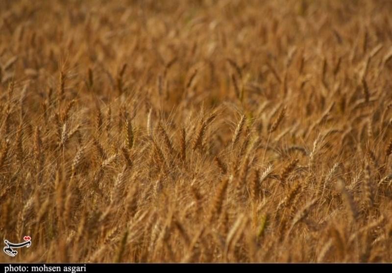 پیشبینی خرید 400 هزار تن گندم در استان لرستان/ سیل میلیونها تن خاک حاصلخیز را با خود برد