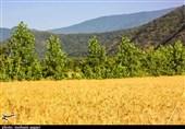 پیشبینی برداشت 85 هزار تن گندم در چهارمحال و بختیاری