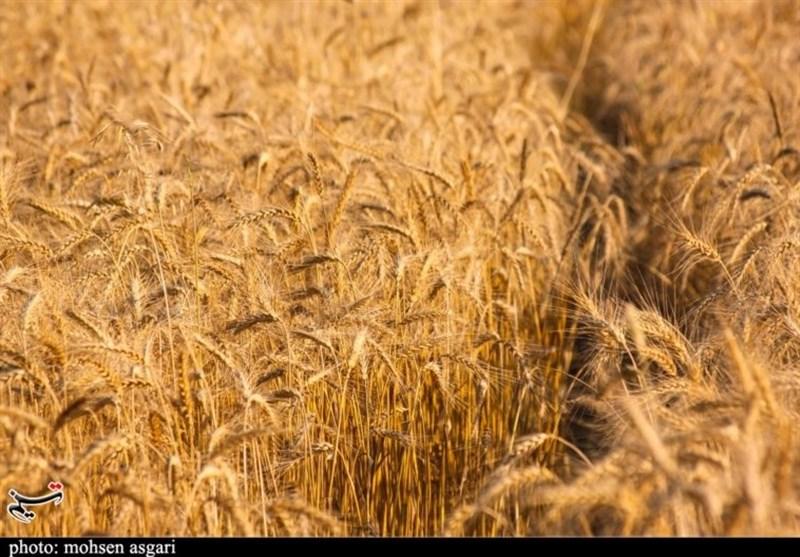 کشاورزان استان یزد امسال 40 هزار تن گندم برداشت میکنند