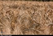 38 درصد برنامه کشت گندم سال جدید اجرا شد/ یک تا دو میلیون تن گندم باید وارد کنیم