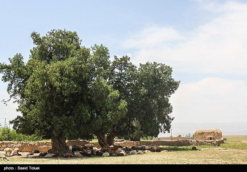 درخت «اُرس» در گذشتههای دور به دلیل داشتن چوبی مستحکم در پل سازی، راهسازی، ساختن خانههای روستایی و چادرهای عشایر استفاده میشد