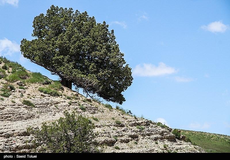 """""""العرعر"""" من أقدم أنواع الأشجار فی ایران"""