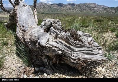 قطع بیرویه این گونه گیاهی به منظور تهیه سوخت و یا خانه سازی باعث کاهش جنگلهای اُرس شده است