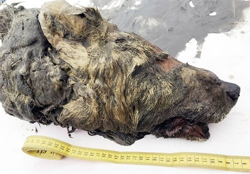 40,000-Year-Old Bear-Like Wolf Found Preserved in Siberian Permafrost