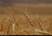 بیش از 405 هزار تن گندم از کشارزان کرمانشاهی خریداری شد