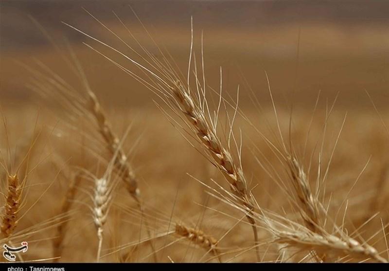 ایران برای چهارمین سال در تولید گندم خودکفا شد