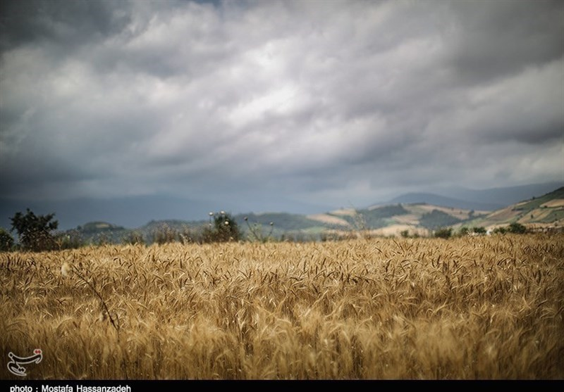 کرمان| اقدامات سازماندهی شده در خرید گندم امنیت غذایی را تهدید میکند