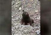 ماجرای حمله به توله خرس در سوادکوه مازندران/ یکی از ضاربان دستگیر شد