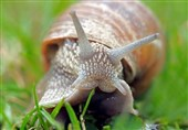 Scientists Create Reversible Super-Glue Inspired by Snail Mucus