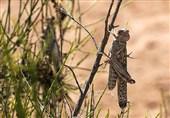 شناسایی زیستگاههای ملخ صحرایی در فارس؛ هنوز هیچ نقطهای آلوده نشده است