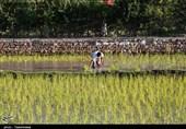 اقتصاد بدون نفت| نشاء برنج در شالیزارهای خراسانشمالی بهروایت تصاویر